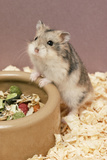 Dwarf Russian Hamster with Dried Food Photographic Print