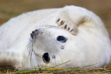 Grey Seal Pup Photographic Print