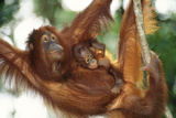 Orang-Utan Female and Infant Photographic Print
