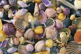 Mixed Atlantic Sea Shells and Crab Photographic Print