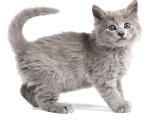Nebelung Kitten Photographic Print