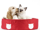 Cocker Spaniel with Cat Birman Kitten in Cat Bed Photographic Print