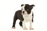 Boston Terrier Puppy in Studio Photographic Print