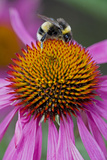Bumble Bee on Purple Coneflower (Echinacea Purpurea) Photographic Print
