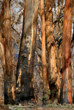 Regrow on Gum Trees after Bush Fire Photographic Print