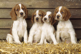 Welsh Springer Spaniel Dog Puppies Photographic Print