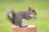 Grey Squirrel Sitting on Flower Pot Photographic Print