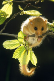 Hazel Dormouse Hanging from Branch Amongst Leaves Lámina fotográfica