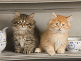 Siberian Kittens on Shelf with Tea Cup Photographic Print