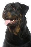 Rottweiler Dog Photographic Print