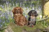 Miniature Long Haired Dachshunds Sitting in Bluebells Photographic Print