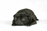 Black Pug Puppy (6 Weeks Old) Lying Down Photographic Print