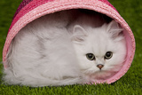 Persian Chinchilla Kitten Curled Up in Pink Basket Photographic Print