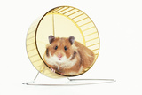 Hamster on Wheel Photographic Print