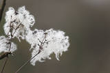 Old Man's Beard Seed Head Photographic Print