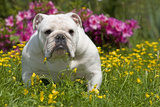 English Bulldog in Garden with Flowers Photographic Print