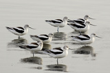 Avocette d'Amérique Reproduction photographique