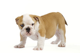 English Bulldog Puppy Photographic Print