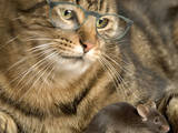 Tabby Cat Wearing Glasses Watches Mouse Photographic Print