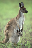 Western Grey Kangaroo with Joey in Pouch Photographic Print