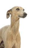 Small Italian Greyhound in Studio Photographic Print