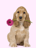 English Cocker Spaniel Puppy Holding Flower Photographic Print