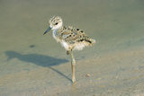 Black-Winged Stilt Reproduction photographique