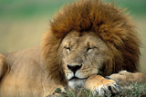 Lion Male Sleeping Photographic Print