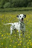 Dalmatian Standing in Buttercup Field Fotografisk tryk