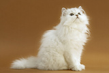 Cats, Persian Chinchilla Photographic Print