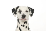 Dalmatian (Head Shot) Photographic Print