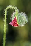 Common Poppy Photographic Print