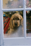 Cocker Spaniel at Window Photographic Print