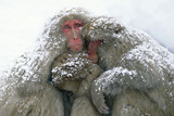 Japanese Macaque Tree in Snow Photographic Print