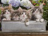 Norwegian Forest Cat Four Kittens in Tin Windowbox Photographic Print
