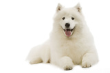 Samoyed Lying Down Photographic Print