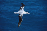 Wandering Albatross in Flight Fotografisk tryk