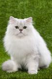 Persian Chinchilla Kitten Black and Silver Photographic Print