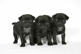 Three Black Pug Puppies (6 Weeks Old) Photographic Print