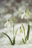 Snowdrop Three Flowers in Snow Photographic Print