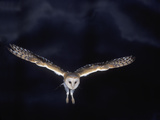 Barn Owl in Flight, at Night Photographic Print