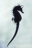 Seahorse under Water Silhouette Photographic Print