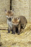Red Fox 2 Cubs Between Straw Bales in Open Barn Photographic Print