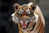 Bengal Indian Tiger Snarling Photographic Print