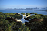 Wandering Albatross (Diomedea Exulans) Courtship Display Reproduction photographique