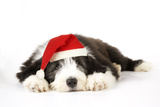 Bearded Collie Puppy Lying Down Wearing Christmas Hat Photographic Print