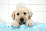 Labrador Retriever Puppy with in Bath with Soap Bubbles Photographic Print