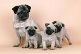Pug Dog and 3 Puppies Fotografická reprodukce