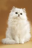 Persian Chinchilla Cat Long-Haired Photographic Print