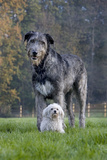 Irish Wolfhound with Maltese Dog Photographic Print